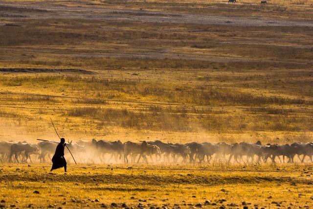 Masaii and herd.