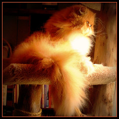 Toby (iwork4toby) Tags: red cat midwest persiancat theworldisbeautiful luv2explore
