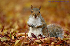 Autumn in the City... (law_keven) Tags: autumn england london leaves animal rodent squirrel dof bokeh critter soe regentspark explore500 golddragon abigfave colorphotoaward impressedbeauty goldstaraward hawaalrayyanfav 100commentgroup