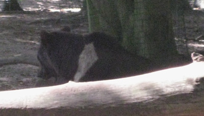 Igor de kraagbeer