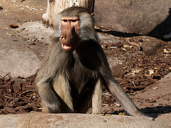 Mantelpavian / Hamadryas Baboon (Papio hamadryas) (Sexecutioner) Tags: portrait dog nature animal animals digital canon germany zoo monkey hessen wildlife natur ape baboon 2008 frankfurter baviaan hamadryasbaboon papiohamadryas pavian babian frankurt zoofrankfurt sacredbaboon babuin mantelpavian mantelpaviane copyrightsexecutioner droguera bjrnbabian gulbabian mantelbabian rdbabian