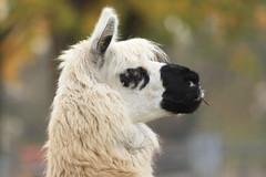 Alpaka - Lama guanicoë f. glama - Alpaca (StefanKoeder) Tags: alpaca animals germany zoo tiere stuttgart wilhelma alpaka itsazoooutthere lamaguanicoëfglama