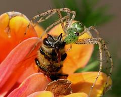 "An ""EYE"" For the Shot (HowardCheekPhotography.com) Tags: flowers green nature texas spiders wildlife bee prey predator arachnids lynx peucetia viridans neighborhoodnw09 photocontesttnc10"