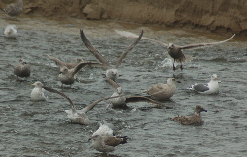 beach_gulls_crowd_wings_500x318_enhanced