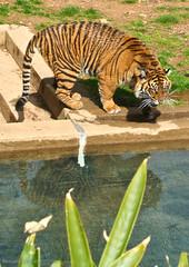 snarling tiger (Burntgraphite) Tags: africa wild animal cat big burma wildlife tiger siberian predator wildcat growl siam roar tundra snarl