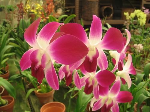 Island View Nursery - Orchids 3