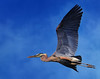 Great Blue Heron...As If You Didn't Know (ozoni11) Tags: bird heron nature birds animal animals fly flying interestingness wings nikon flight wing explore winged greatblueheron herons d300 greatblueherons 472 interestingness472 i500 explore472 michaeloberman ozoni11