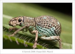 2.4 Weevil ... it is so cute (liewwk - www.liewwkphoto.com) Tags: park wild brown plant macro green eye nature animal closeup fauna canon bug garden insect gold leaf flora natural outdoor wildlife leg beetle foliage wilderness antenna weevil fraserhill whitish 50d canon50d ahqmacro mpe65macro
