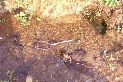 赤腹游蛇是淡水性濕地的變化指標,圖中的赤腹游蛇因濕地所涵養的水不足而死亡了