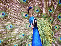 Stunning! (Lady Of The Hounds) Tags: friends bird nature wildlife feathers vivid peacock 1001nights creature soe blueribbonwinner smorgasboard bej golddragon mywinners mywinner abigfave platinumphoto diamondclassphotographer naturephotoshp theunforgettablepictures theunforgettablepicture wonderfulworldmix theperfectphotographer goldstaraward flickrestrellas allkindsofbeauty 100commentgroup mallmixstaraward