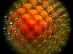 cachi.1. (codaaa) Tags: natura frutta farfalla cachi naturalmente raccopntarelanatura