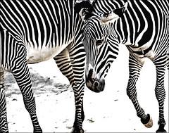 Stripes (PatriciaPix) Tags: california bw white black lines animal zoo la blackwhite losangeles los angeles stripes zebra lazoo top20la yourphototips