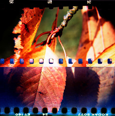 Close-up 2 (schoeband) Tags: tree fall film leaves 35mm schweiz switzerland holga xpro suisse crossprocessing svizzera aargau cherrytree kodakektachrome160t sprocketholes agfactprecisa100 gipfoberfrick holgagcfn