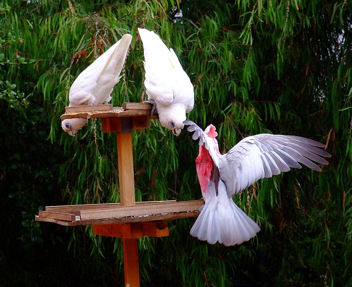 one galah two little corellas