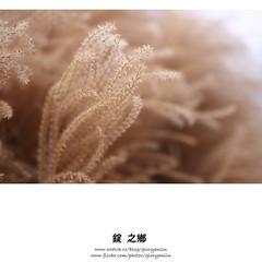 茫茫散景,朦朧美 (gloryanlin) Tags: 35mm canon prime bokeh l ef 芒草 35l 40d 散景 l鏡 大光圈 定焦鏡 潛景深