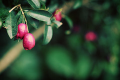 (ginnerobot) Tags: pink green nature 50mm pretty pittsburgh berries bokeh tropical growing phipps phippsconservatory viewonblack trwo