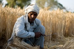 Farmer farmer! (niyatee) Tags: india rural women village wheat harvest farmer haryana