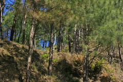 Pine trees (prasanth_p_jose) Tags: campus iit mandi lowerhimalayas beautifulpictures beautifulcampus kamand shivalikranges kamandcampus iitmandikamandcampus amazingcampuspictures wildlifeiitmandikamandcampus