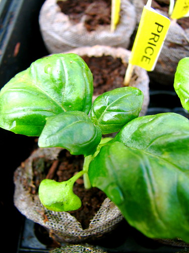 Large Leaf Basil