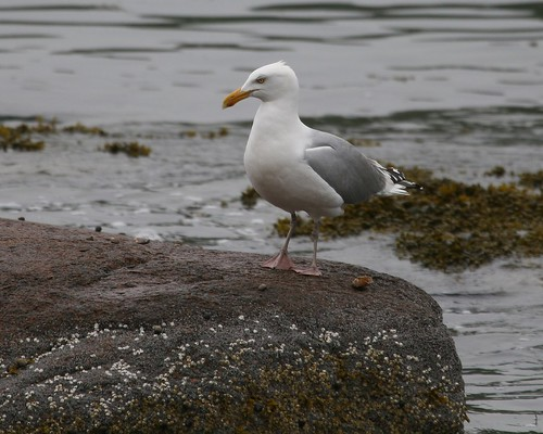 Herring Gull