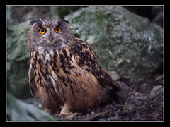 European Eagle Owl (Uhu, Bubo bubo) (guenterleitenbauer) Tags: pictures bird art nature birds animal animals zoo austria tiere photo google fantastic flickr foto image photos kunst fineart natur fine picture images fotos owl com imaging bild tierpark vgel 2008 tiergarten bilder tier vogel uhu zoos gnter bubo wildpark eule naturesfinest eulen tierfotografie grnau gehege stereich uhus wildtiere fotografien guenter specanimal abigfave eagl impressedbeauty aplusphoto leitenbauer picturefantastic zoofotografie wwwleitenbauernet