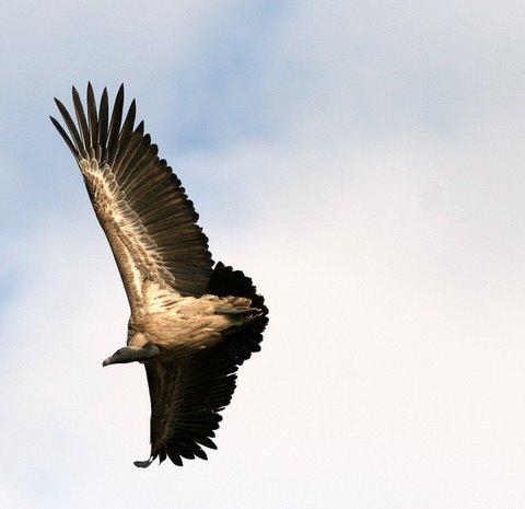 longbilled vulture in flight 021207