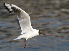 Gull (red R) Tags: bird inflight gull duna danube