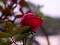 Baby rose (abhinav_natarajan) Tags: red macro up rose close small babyflower flowerpicturesnolimit recentlyopenedbud