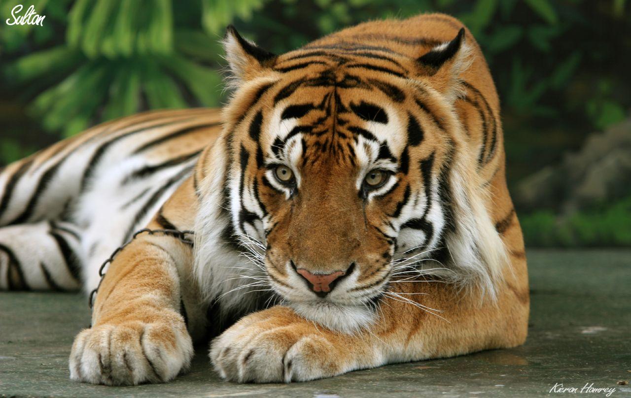 Бенгальский тигр (лат. Panthera tigris tigris или ...: www.zoopicture.ru/tigers