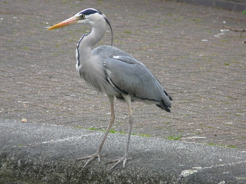 Grey Heron by Albion Channel