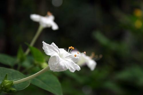 Flickriver: Maheash Nelanka's photos tagged with flowers Hendirikka Flower