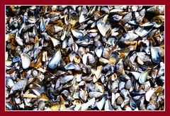 Boston Harbor Mussel Shells