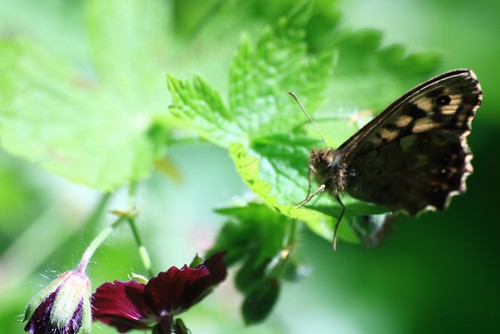 Butterfly on Geranium in Dappled Light