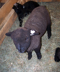 BabySheep_black