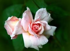 botton di rosa (giulifff) Tags: rosa rosacecilebrunner inspire fantasticflower irresistiblebeauty diamondclassphotographer flickrdiamond citritgroup flickrelite simplyperfect thebestofflickr overtheexcellence flowersarefabulous lerosediwhiteredflower