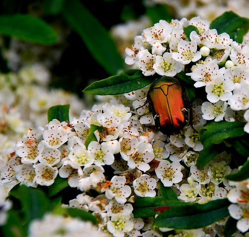 a spasso sulla pyracantha by giulifff
