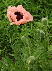 Dcoupage 4 (sylviedjinn 14) Tags: poppies dcoupage coquelicots recadrage pavots mohne