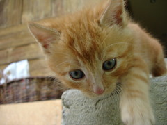 move like a cagey tiger (Urs Wachter) Tags: red pet baby pets cute rot cane cat schweiz switzerland kitten feline chat pretty babies suisse tabby kitty aarau gato kitties katze puss gatto aargau 1000 kats overload ktzchen chaton urs wachter gattini httli mywinners cat1000 oberkulm anawesomeshot aplusphoto superphotos