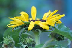 sunflower bokeh - HBW (for Taty's friend Raja) (tatyveli) Tags: blue friends green friend dof bokeh sunflower raja tatiana taty yellowsunflower nikond60 hbw theperfectphotographer nikor105mm fdream tatyveli sunflowerbuds kassandraphotography
