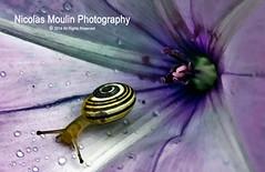 El Caracol y su Tormenta: Guillermina Echevarria (Nicolas Moulin (Nimou)) Tags: macro nature nikon cuento snail escargot caracol fabulas aplusphoto