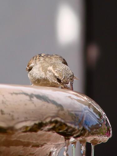 sparrow slurping water