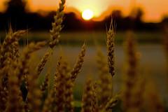 Wheat...Indiana Sunset...Grant Co., Indiana (Mike Millspaugh) Tags: sunset sun nature dof farm wheat