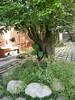 香光山寺楊桃老樹DSCN0986