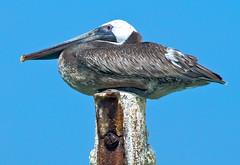 Pelican Perch (Jeff Clow) Tags: travel vacation birds bravo pelican caribbean onblue jeffclow impressedbeauty jeffrclow