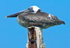 Pelican Perch (Jeff Clow) Tags: travel vacation birds bravo pelican caribbean onblue jeffclow impressedbeauty ©jeffrclow