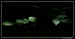 Again .. playing with light! (paragkan) Tags: light green nature bokeh paragkan canonxti