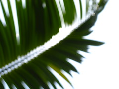 Under the Palm of My Heart (kimdimsunshine) Tags: summer sun tree nature sunshine happy bokeh palm 4644 hbw ilovethistree thesunwasshining thewindwasblowing