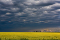 Canola, Before The Storm (Ken Yuel) Tags: storm rain yellow clouds manitoba canolaoil canolafields abigfave anawesomeshot colorphotoaward prairiefields landscapesdreams multimegashot digitalagent