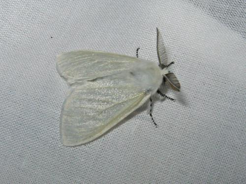 Lymantria