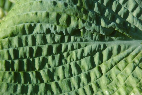Corrugated (Hosta)
